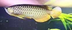 Arowana Osteoglossum hight gold cross back